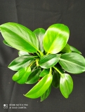 Philodendron 'Green princes'